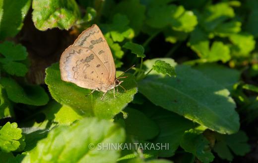 1105ムラサキシジミ-0950.jpg