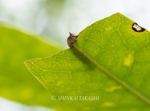 アカウラカギバ幼虫-4030035.jpg