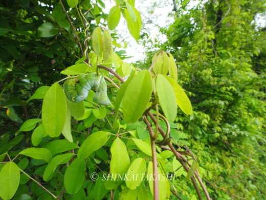 アケビコノハ幼虫-4170002.jpg