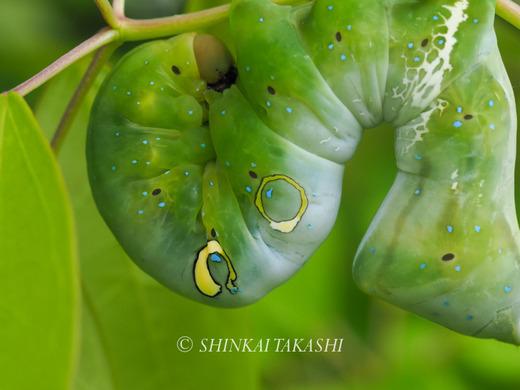 アケビコノハ幼虫-4170020.jpg