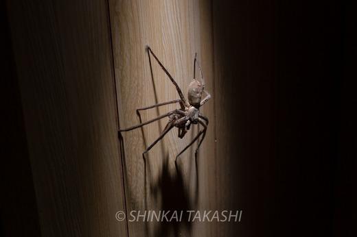 アシダカグモ-2092.jpg