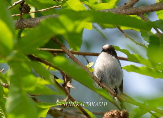 エナガ幼鳥-5018.jpg