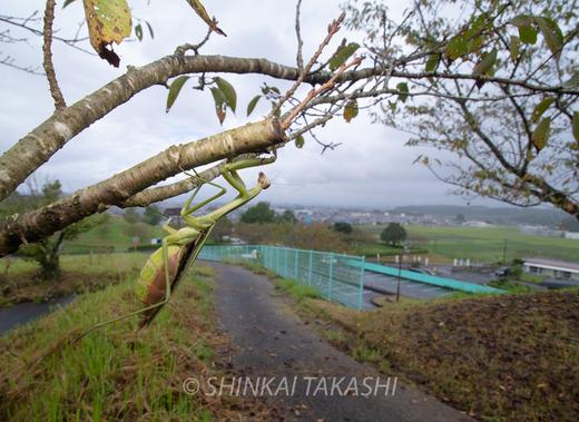 オオカマキリ-0643.jpg