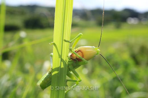 カヤキリ-6976.jpg