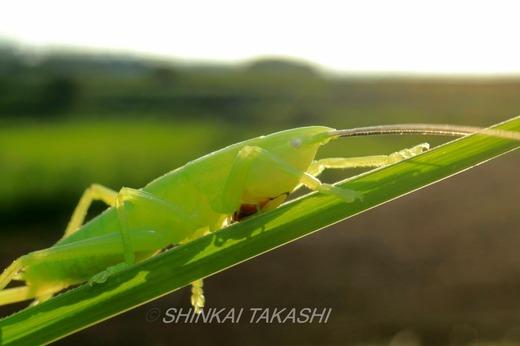 カヤキリ幼虫IMG_8929.jpg