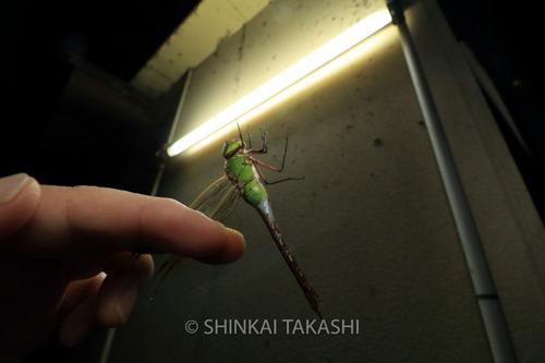 ギンヤンマ_2382.jpg
