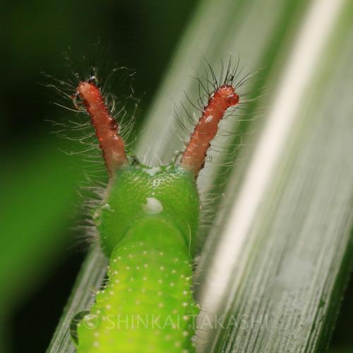 クロコノマ幼虫_8443-2.jpg
