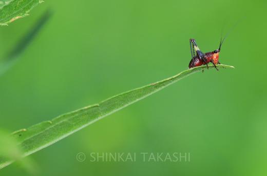 ササキリ幼虫-9774.jpg