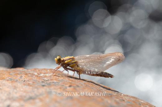 サナエ羽化-9509.jpg