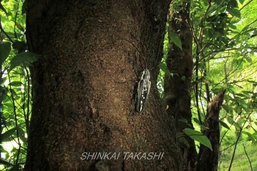 シロスジカミキリIMG_6755.jpg