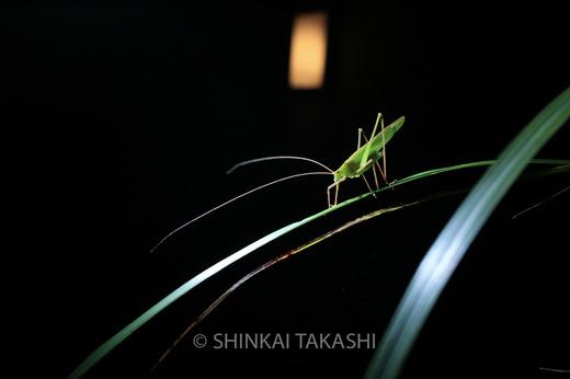 セスジツユムシ-7137.jpg