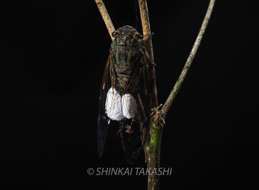 セミヤドリガ幼虫-8280125.jpg