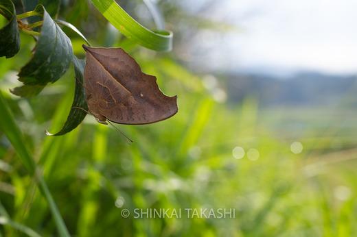 タテハモドキ秋型-2243.jpg