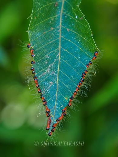 ツマキシャチホコ幼虫群-7010283.jpg