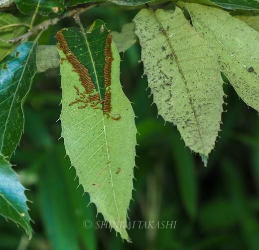 ツマキシャチホコ幼虫群-7010286.jpg