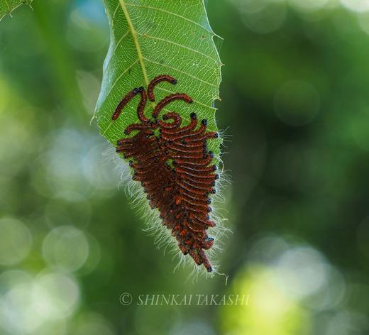 ツマキシャチホコ幼虫群-7010291.jpg