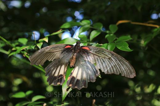 ナガサキアゲハ♀-9955.jpg