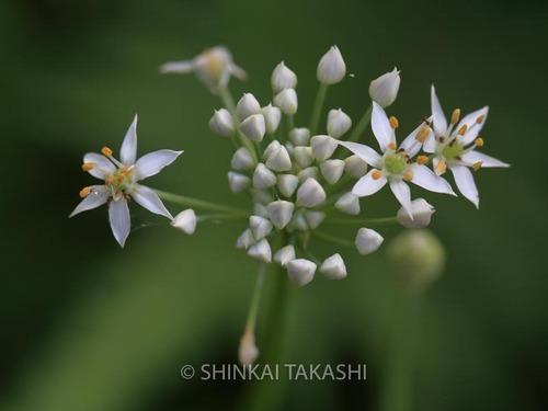 ニラの花_1806.jpg