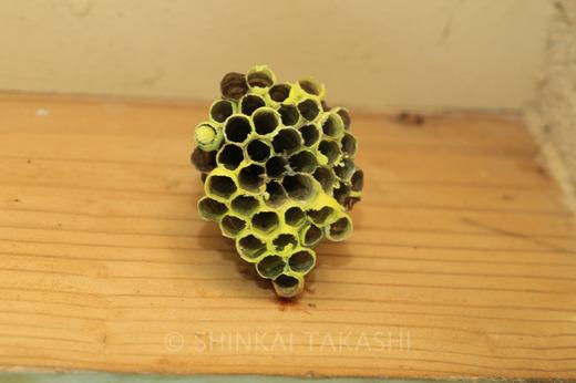 ヤマトアシナガバチ巣-6617.jpg